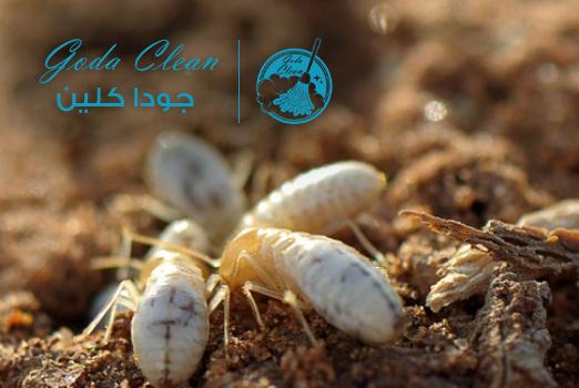 أخطار النمل الأبيض على المنزل 0552398100 كيفية القضاء على النمل الأبيض